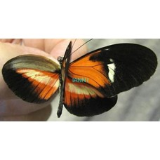 Heliconius Hybrid- O' Give Me A Home
